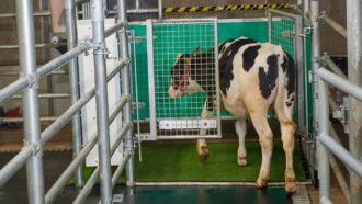 Potty-trained cattle could help reduce pollution